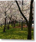 Cherry Blossoms 2013 - 057 Metal Print