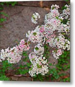 Cherry Blossoms 2013 - 067 Metal Print