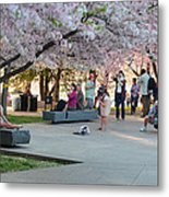 Cherry Blossoms 2013 - 069 Metal Print