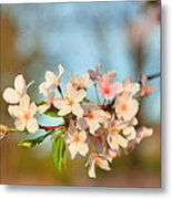 Cherry Blossoms 2013 - 073 Metal Print