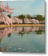 Cherry Blossoms 2013 - 083 Metal Print by Metro DC Photography