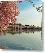 Cherry Blossoms 2013 - 084 Metal Print