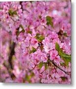 Cherry Blossoms 2013 - 096 Metal Print