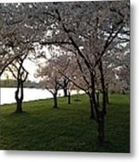 Cherry Blossoms Along The Potomac Metal Print