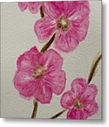 Cherry Blossoms Blooming  Metal Print