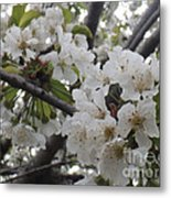 Cherry Blossoms Branching Out Metal Print