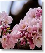 Cherry Blossoms Finally Metal Print