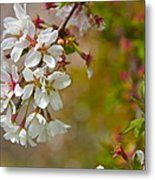 Cherry Blossoms Galore Metal Print