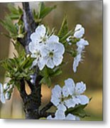 Cherry Blossoms In White Metal Print