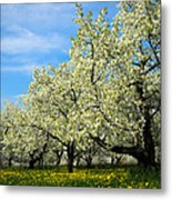 Cherry Blossoms Metal Print by Thomas Pettengill