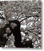 Cherry Blossoms - Washington Dc - 0113114 Metal Print by DC Photographer