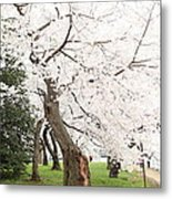 Cherry Blossoms - Washington Dc - 0113135 Metal Print