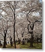 Cherry Blossoms - Washington Dc - 011378 Metal Print
