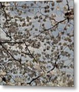 Cherry Blossoms With Jefferson Memorial - Washington Dc - 011330 Metal Print by DC Photographer