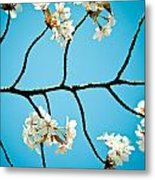 Cherry Blossoms With Sky Metal Print