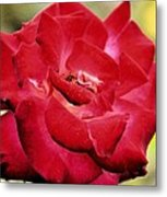 Cherry Cream Rose Metal Print