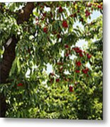 Cherry Orchard  Metal Print