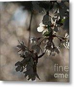 Cherry Tree Blossom Macro Metal Print