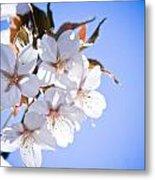 Cherry Tree Blossoms Close Up Metal Print