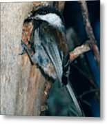 Chestnut-backed Chickadee Metal Print