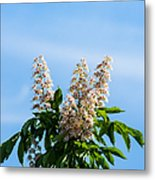 Chestnut Tree Blossoms - Featured 2 Metal Print