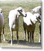 Cheviot Sheep 2 Metal Print