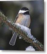 Chickadee On The Spruce Metal Print