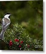 Chickadee Pictures 373 Metal Print