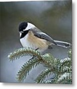 Chickadee Pictures 521 Metal Print