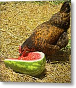 Chicken And Her Watermelon Metal Print by Sandi OReilly