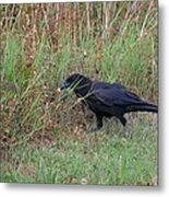 Chicken Eating Crow Metal Print