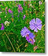 Chicory And Purple Vetch Along Rivier Du Nord Trail In Laurentians-quebec Metal Print
