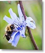 Chicory Bee Metal Print