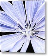Chicory Flower Macro Metal Print