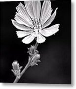 Chicory Wildflower Metal Print