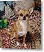 Chihuahua Cutie Metal Print