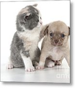 Chihuahua Puppy And British Shorthair Metal Print