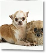 Chihuahua Puppy Dogs Metal Print