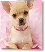 Chihuahua With Feather Boa Metal Print by Greg Cuddiford