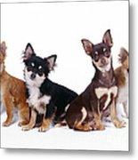Chihuahuas Dogs Metal Print