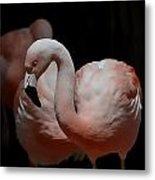 Chilean Flamingos Metal Print