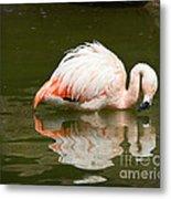 Chilean Flamingo Reflection Metal Print