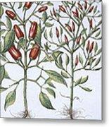 Chilli Pepper Plants Metal Print
