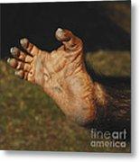 Chimpanzee Foot Metal Print