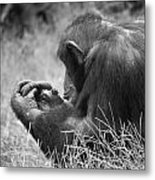 Chimpanzee In Thought Metal Print
