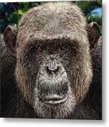 Chimpanzee Male Metal Print
