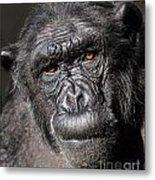 Chimpanzee Portrait Metal Print