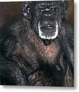 Chimpanzee Portrait Endangered Species Wildlife Rescue Metal Print
