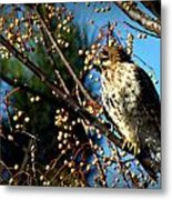 China Berry Hawk Metal Print