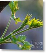 Chinaberry Sunset Bloom Metal Print